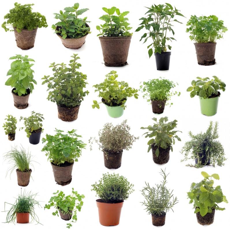 plantes_aromatiques_©cynoclub_Fotolia.com_